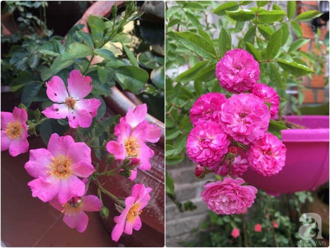 Mùng 1 Tết ghé thăm khu vườn hồng rực rỡ trồng trong chum vại độc đáo ở miền Trung - Ảnh 28.