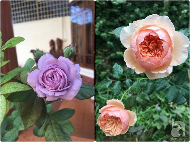Mùng 1 Tết ghé thăm khu vườn hồng rực rỡ trồng trong chum vại độc đáo ở miền Trung - Ảnh 31.