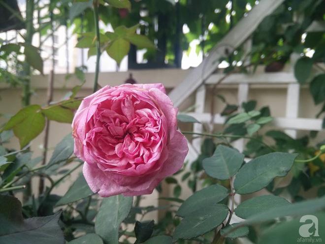Đến thăm khu vườn hồng rực rỡ của người phụ nữ yêu hoa đất Hải Dương - Ảnh 4.