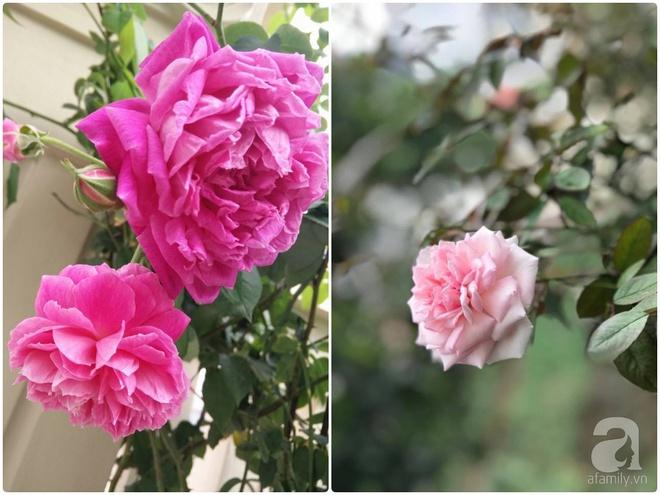 Đến thăm khu vườn hồng rực rỡ của người phụ nữ yêu hoa đất Hải Dương - Ảnh 6.