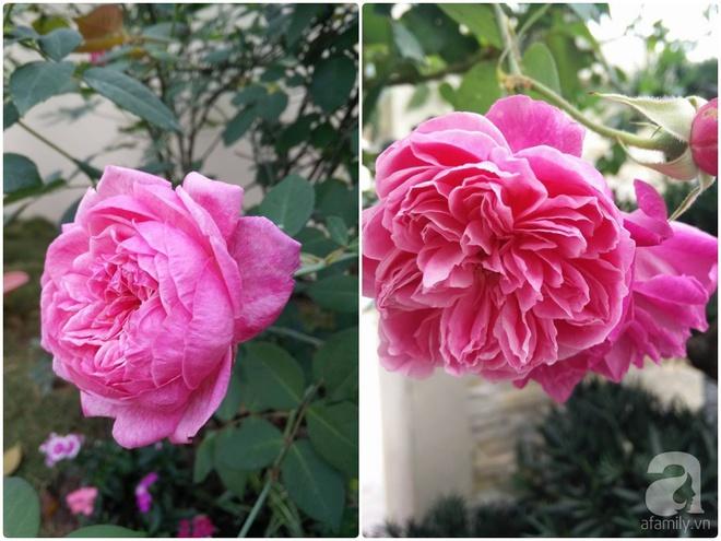 Đến thăm khu vườn hồng rực rỡ của người phụ nữ yêu hoa đất Hải Dương - Ảnh 7.
