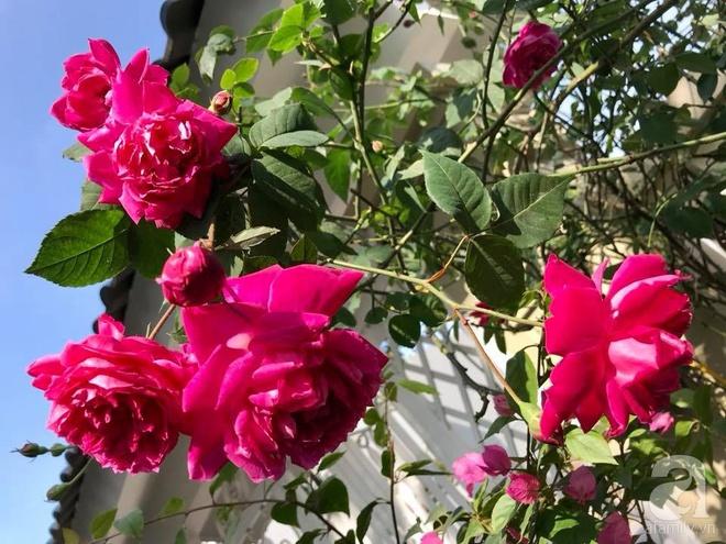 Đến thăm khu vườn hồng rực rỡ của người phụ nữ yêu hoa đất Hải Dương - Ảnh 12.