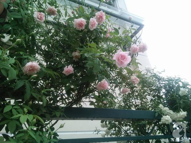 Đến thăm khu vườn hồng rực rỡ của người phụ nữ yêu hoa đất Hải Dương - Ảnh 18.