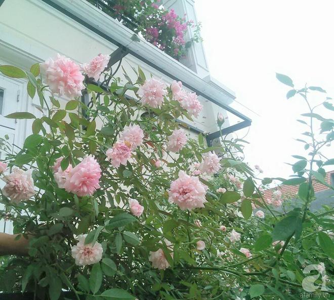 Đến thăm khu vườn hồng rực rỡ của người phụ nữ yêu hoa đất Hải Dương - Ảnh 20.