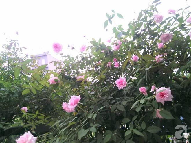 Đến thăm khu vườn hồng rực rỡ của người phụ nữ yêu hoa đất Hải Dương - Ảnh 22.