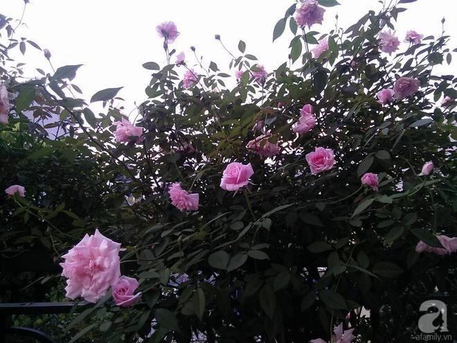 Đến thăm khu vườn hồng rực rỡ của người phụ nữ yêu hoa đất Hải Dương - Ảnh 23.