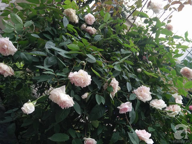 Đến thăm khu vườn hồng rực rỡ của người phụ nữ yêu hoa đất Hải Dương - Ảnh 25.