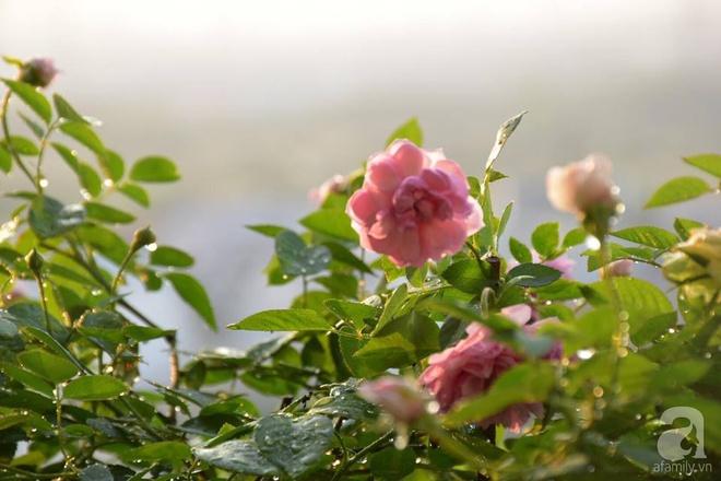 Ngắm ban công chỉ vỏn vẹn 2,2m² nhưng có tới hơn 20 chậu hồng thơm ngát ở Sài Gòn - Ảnh 5.