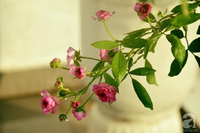 Ngắm ban công chỉ vỏn vẹn 2,2m² nhưng có tới hơn 20 chậu hồng thơm ngát ở Sài Gòn - Ảnh 7.