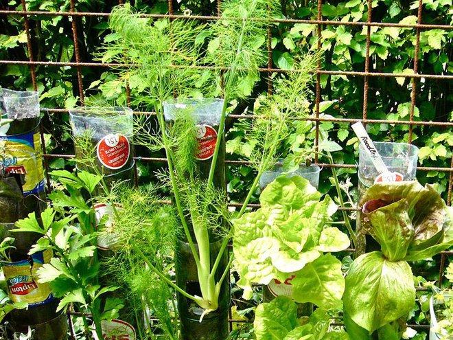 Câu chuyện trồng rau sạch từ chai và thùng nhựa bỏ đi của vị giáo sư Đại học sau khi về hưu - Ảnh 3.