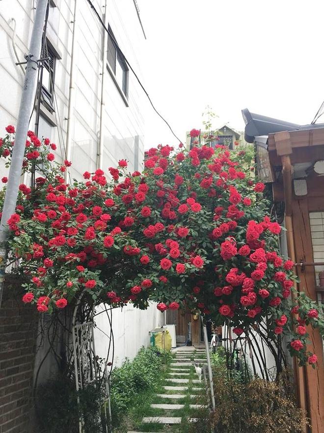 Mê đắm trước cổng nhà rực rỡ hoa hồng ở ngôi nhà thuê của chàng trai 9x - Ảnh 4.