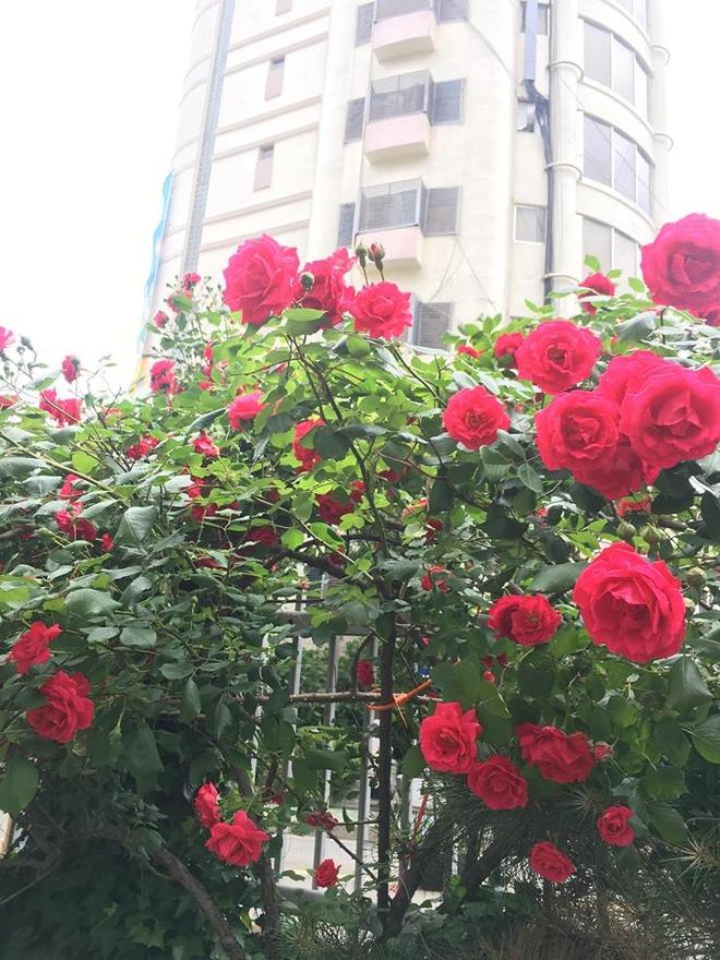 Mê đắm trước cổng nhà rực rỡ hoa hồng ở ngôi nhà thuê của chàng trai 9x - Ảnh 5.