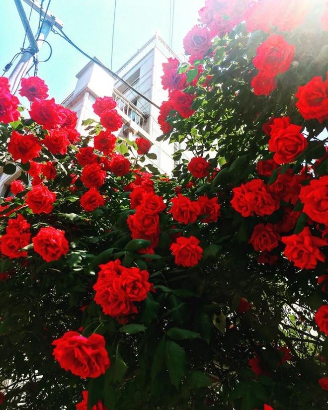 Mê đắm trước cổng nhà rực rỡ hoa hồng ở ngôi nhà thuê của chàng trai 9x - Ảnh 6.