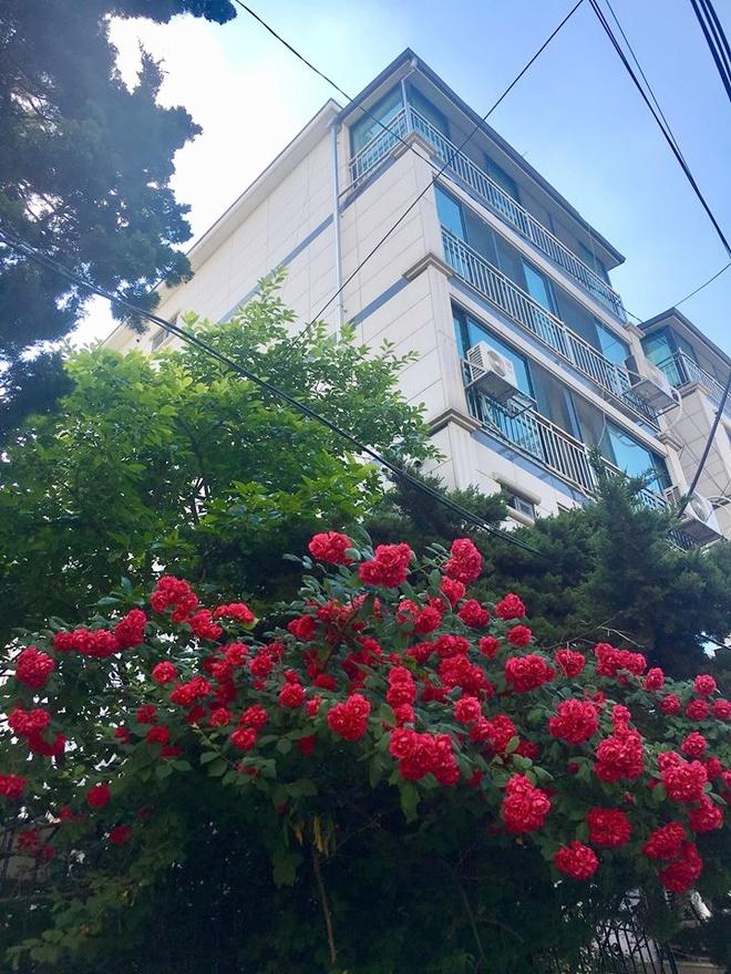 Mê đắm trước cổng nhà rực rỡ hoa hồng ở ngôi nhà thuê của chàng trai 9x - Ảnh 7.