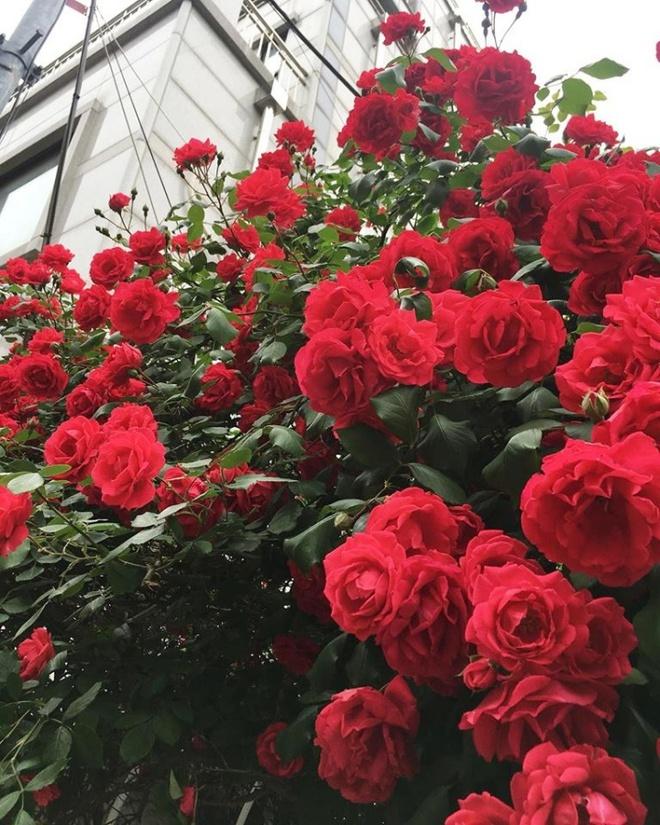 Mê đắm trước cổng nhà rực rỡ hoa hồng ở ngôi nhà thuê của chàng trai 9x - Ảnh 8.