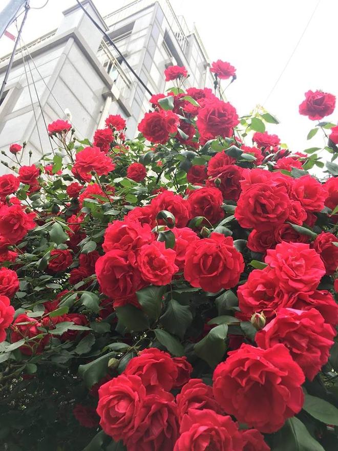 Mê đắm trước cổng nhà rực rỡ hoa hồng ở ngôi nhà thuê của chàng trai 9x - Ảnh 9.