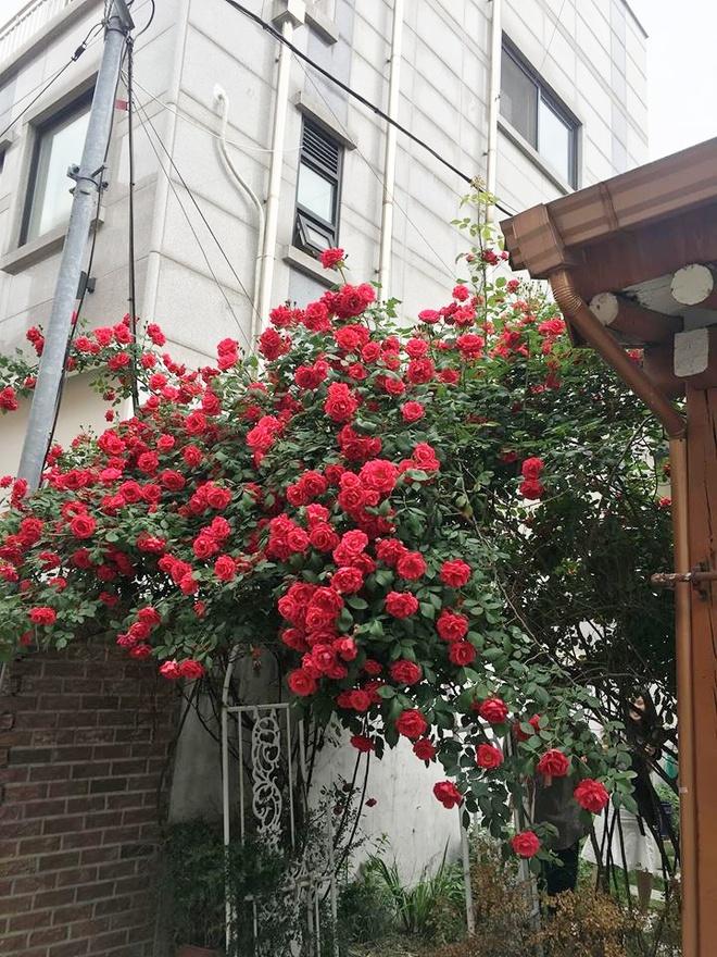 Mê đắm trước cổng nhà rực rỡ hoa hồng ở ngôi nhà thuê của chàng trai 9x - Ảnh 10.