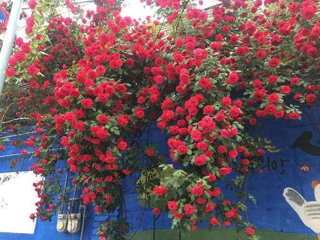 Mê đắm trước cổng nhà rực rỡ hoa hồng ở ngôi nhà thuê của chàng trai 9x - Ảnh 11.