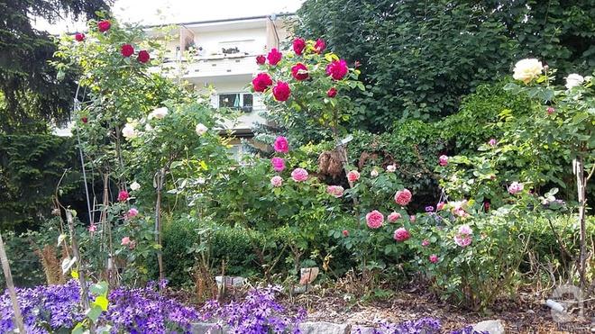 """Khu vườn đẹp như mơ của người chồng dành cả """"thanh xuân"""" đi tìm các loại hoa hiếm về tặng vợ - Ảnh 11."""