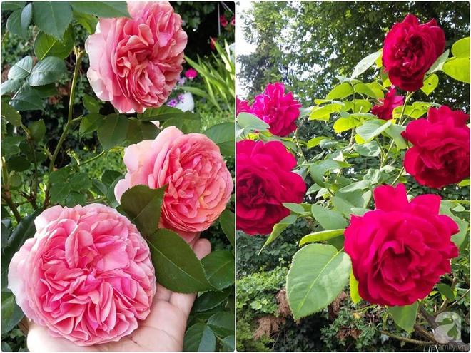"""Khu vườn đẹp như mơ của người chồng dành cả """"thanh xuân"""" đi tìm các loại hoa hiếm về tặng vợ - Ảnh 12."""