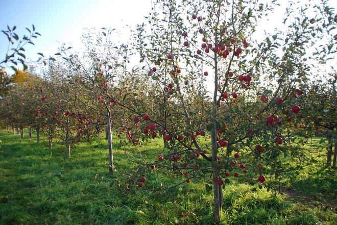 Vườn táo đẹp như cổ tích của cụ ông người Nhật dành tâm huyết suốt 11 năm chăm sóc - Ảnh 5.