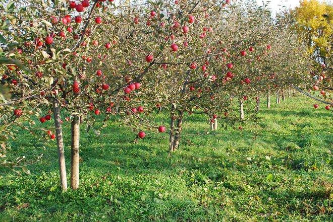 Vườn táo đẹp như cổ tích của cụ ông người Nhật dành tâm huyết suốt 11 năm chăm sóc - Ảnh 6.