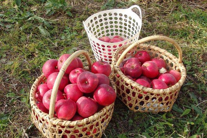 Vườn táo đẹp như cổ tích của cụ ông người Nhật dành tâm huyết suốt 11 năm chăm sóc - Ảnh 15.