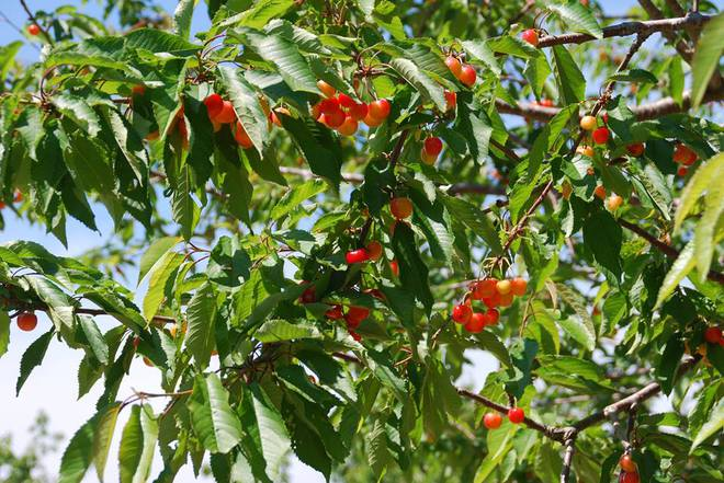 Vườn táo đẹp như cổ tích của cụ ông người Nhật dành tâm huyết suốt 11 năm chăm sóc - Ảnh 27.