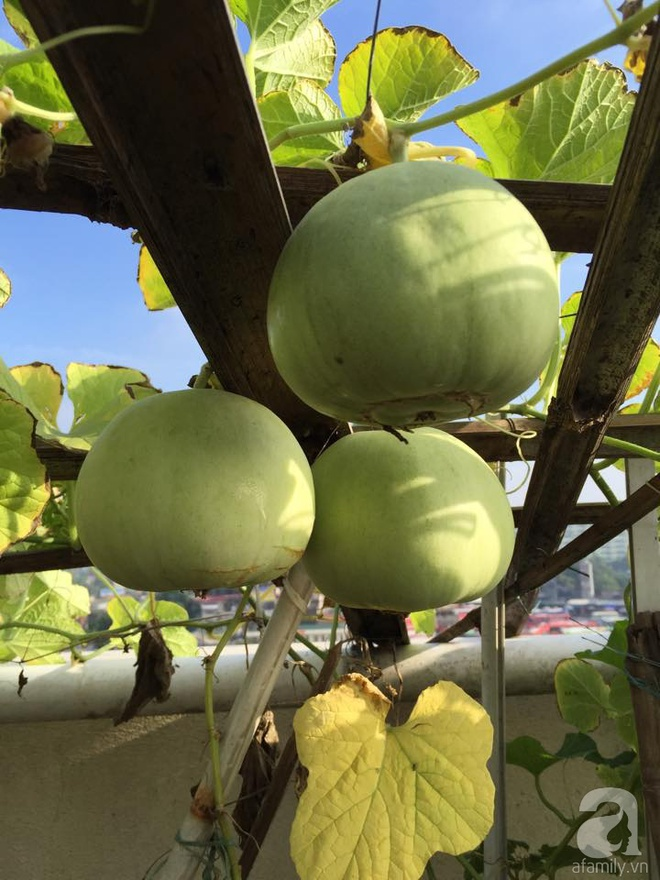 Nông trại trên cao với bạt ngàn rau sạch và quả ngọt bà cất công trồng để đảm bảo sức khỏe cho cháu yêu - Ảnh 9.
