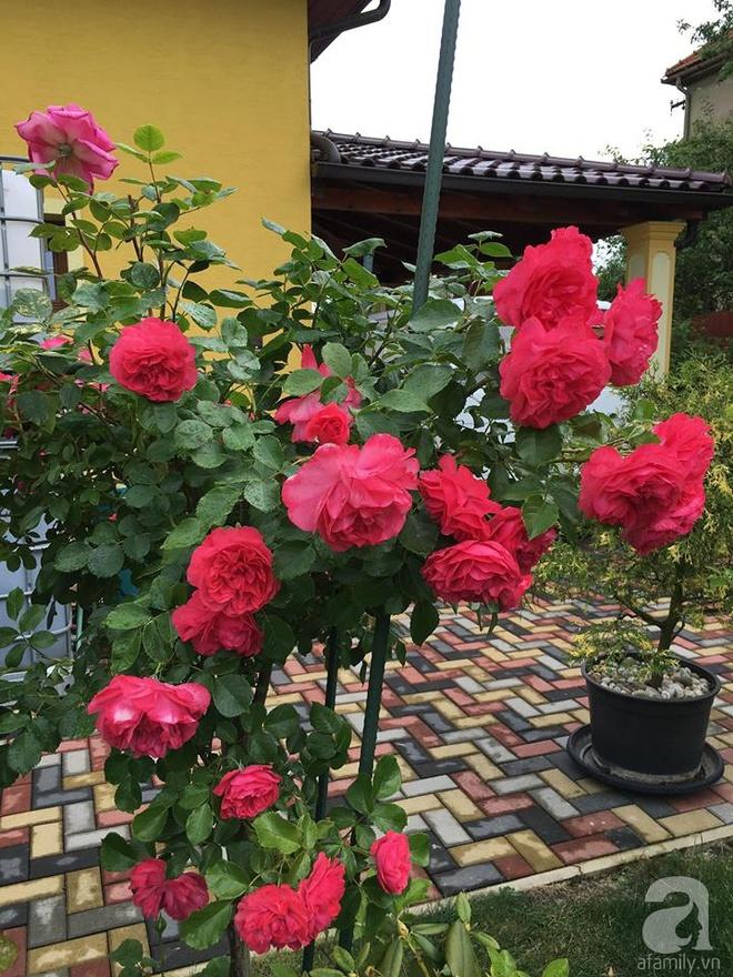 Ngắm khu vườn rộng hơn nghìn m² rực rỡ khoe hương sắc của người đàn ông Việt dành hết tâm huyết để chăm bón - Ảnh 12.