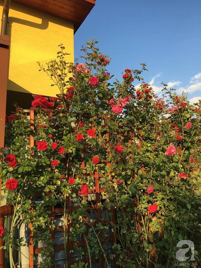 Ngắm vườn hồng rực rỡ khoe hương sắc của người đàn ông Việt dành trọn thời gian chăm sóc - Ảnh 20.