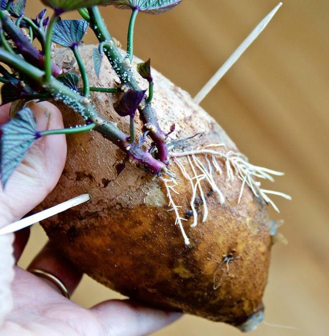 Hướng dẫn cách trồng khoai lang để bàn - xu hướng đang rầm rộ trong giới văn phòng - Ảnh 6.