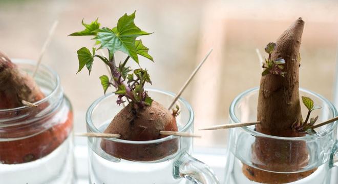 Hướng dẫn cách trồng khoai lang để bàn - xu hướng đang rầm rộ trong giới văn phòng - Ảnh 9.
