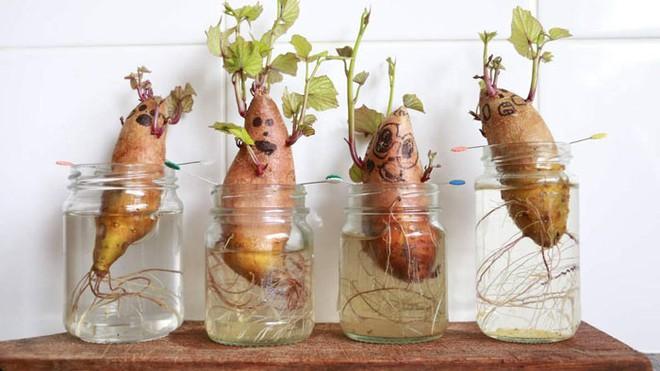 Hướng dẫn cách trồng khoai lang để bàn - xu hướng đang rầm rộ trong giới văn phòng - Ảnh 10.