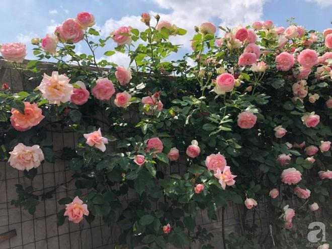 Khu vườn hoa hồng rộng 500m² với hàng trăm gốc hồng đẹp rực rỡ của người phụ nữ gốc Hà Thành - Ảnh 2.
