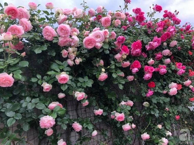 Khu vườn hoa hồng rộng 500m² với hàng trăm gốc hồng đẹp rực rỡ của người phụ nữ gốc Hà Thành - Ảnh 3.