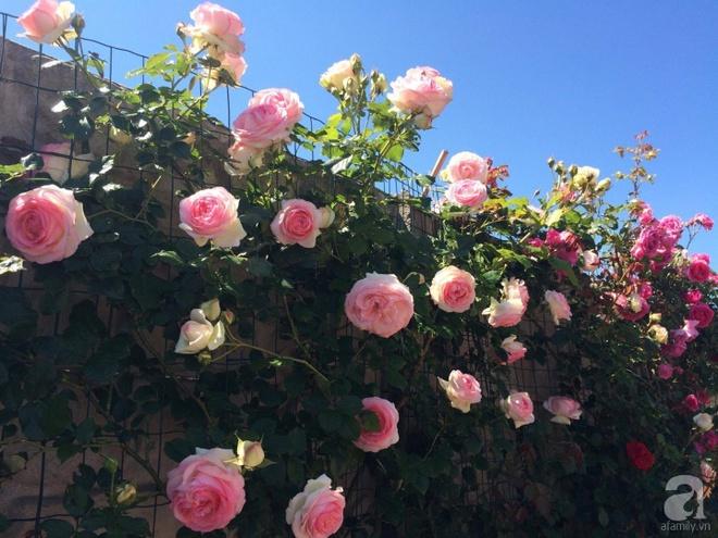 Khu vườn hoa hồng rộng 500m² với hàng trăm gốc hồng đẹp rực rỡ của người phụ nữ gốc Hà Thành - Ảnh 6.