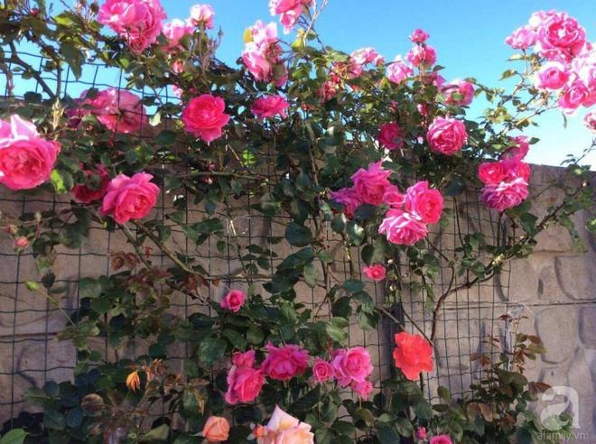 Khu vườn hoa hồng rộng 500m² với hàng trăm gốc hồng đẹp rực rỡ của người phụ nữ gốc Hà Thành - Ảnh 7.