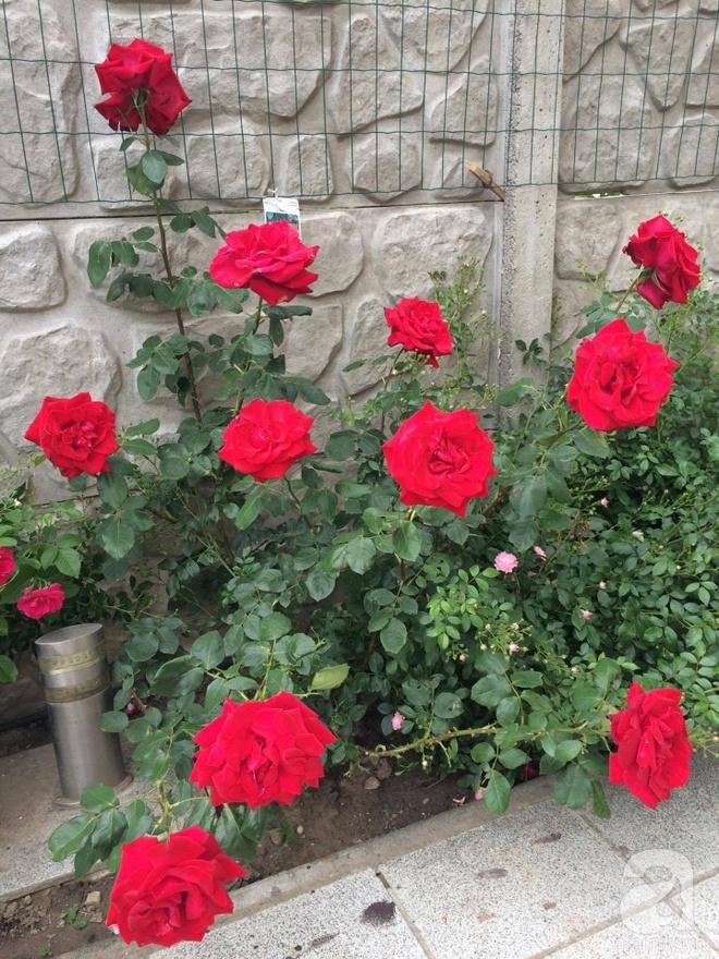Khu vườn hoa hồng rộng 500m² với hàng trăm gốc hồng đẹp rực rỡ của người phụ nữ gốc Hà Thành - Ảnh 12.
