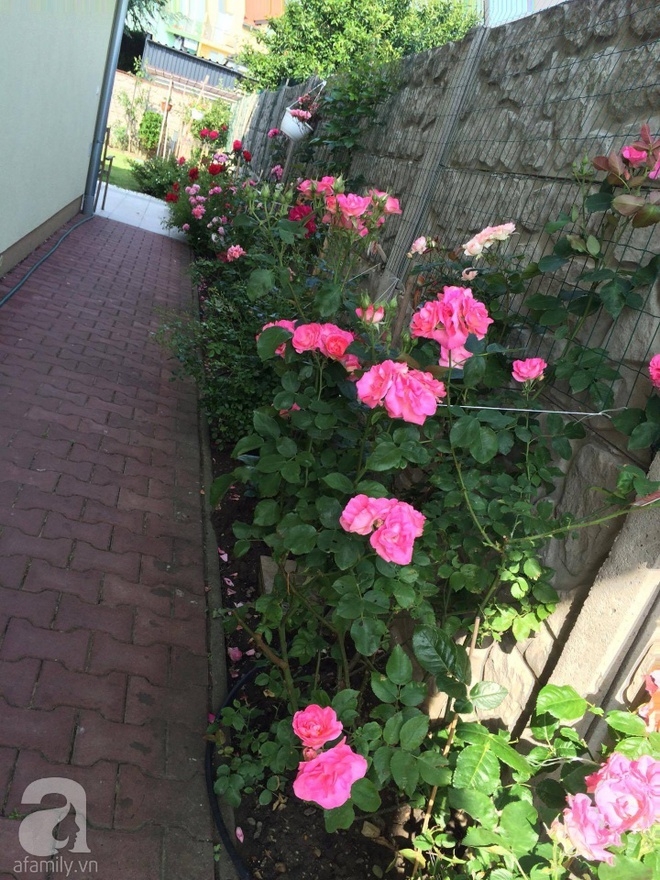 Khu vườn hoa hồng rộng 500m² với hàng trăm gốc hồng đẹp rực rỡ của người phụ nữ gốc Hà Thành - Ảnh 17.