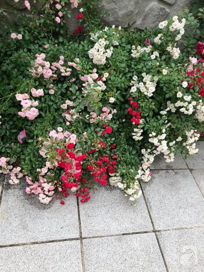 Khu vườn hoa hồng rộng 500m² với hàng trăm gốc hồng đẹp rực rỡ của người phụ nữ gốc Hà Thành - Ảnh 18.