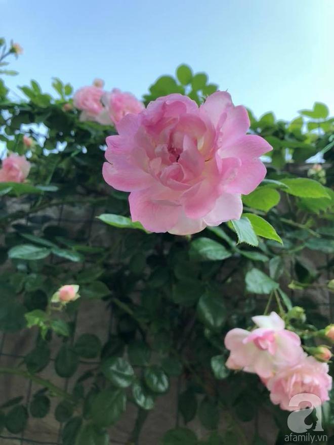 Khu vườn hoa hồng rộng 500m² với hàng trăm gốc hồng đẹp rực rỡ của người phụ nữ gốc Hà Thành - Ảnh 20.