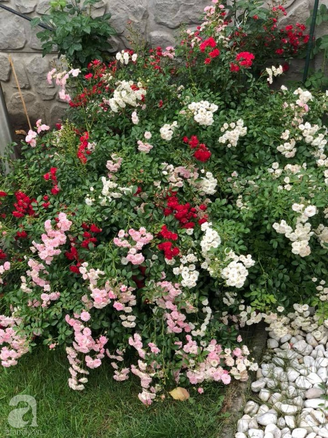 Khu vườn hoa hồng rộng 500m² với hàng trăm gốc hồng đẹp rực rỡ của người phụ nữ gốc Hà Thành - Ảnh 21.