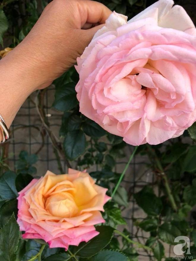 Khu vườn hoa hồng rộng 500m² với hàng trăm gốc hồng đẹp rực rỡ của người phụ nữ gốc Hà Thành - Ảnh 23.