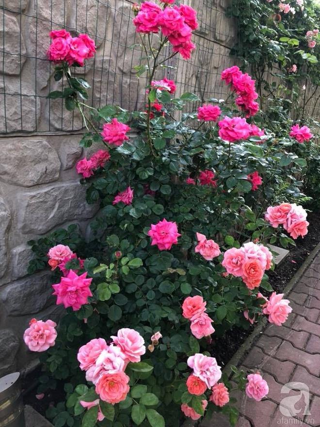 Khu vườn hoa hồng rộng 500m² với hàng trăm gốc hồng đẹp rực rỡ của người phụ nữ gốc Hà Thành - Ảnh 25.