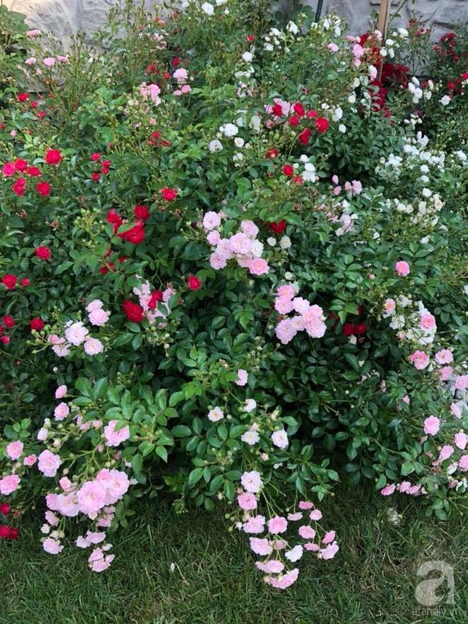 Khu vườn hoa hồng rộng 500m² với hàng trăm gốc hồng đẹp rực rỡ của người phụ nữ gốc Hà Thành - Ảnh 26.