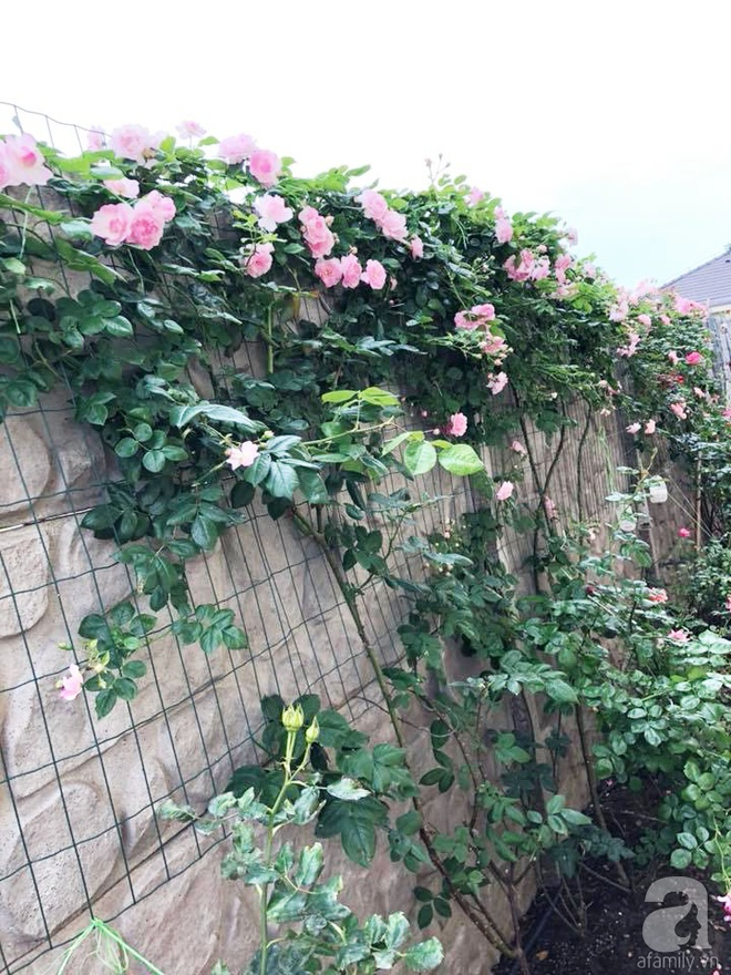 Khu vườn hoa hồng rộng 500m² với hàng trăm gốc hồng đẹp rực rỡ của người phụ nữ gốc Hà Thành - Ảnh 27.