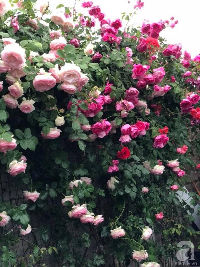 Khu vườn hoa hồng rộng 500m² với hàng trăm gốc hồng đẹp rực rỡ của người phụ nữ gốc Hà Thành - Ảnh 28.