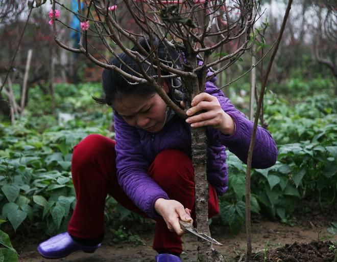 Đào nở sai thời điểm, rớt giá chỉ còn 50.000 đồng/cành, nông dân Nhật Tân như ngồi trên đống lửa - Ảnh 3.