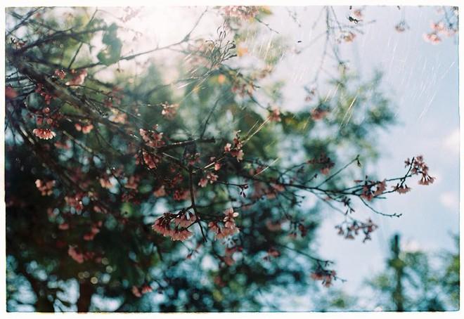 Lên Đà Lạt mùa này tuyệt như đi Nhật, có mai anh đào nở rộ rực hồng, trời lại rất xanh trong - Ảnh 4.